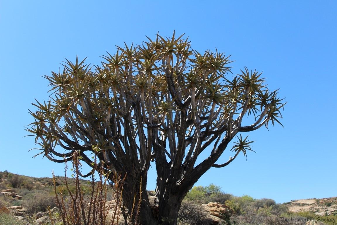 Aloe dichotoma, Goegap Nature Reserve (4)