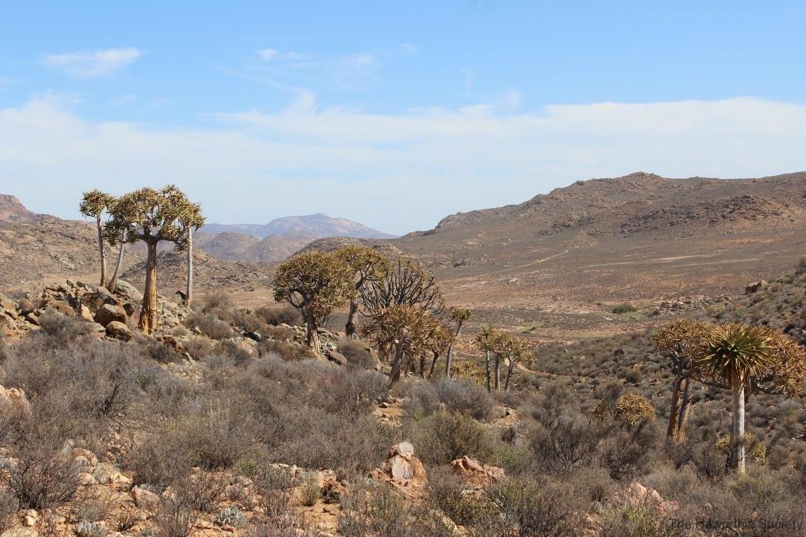 Aloe dichotoma, Goegap Nature Reserve (5)