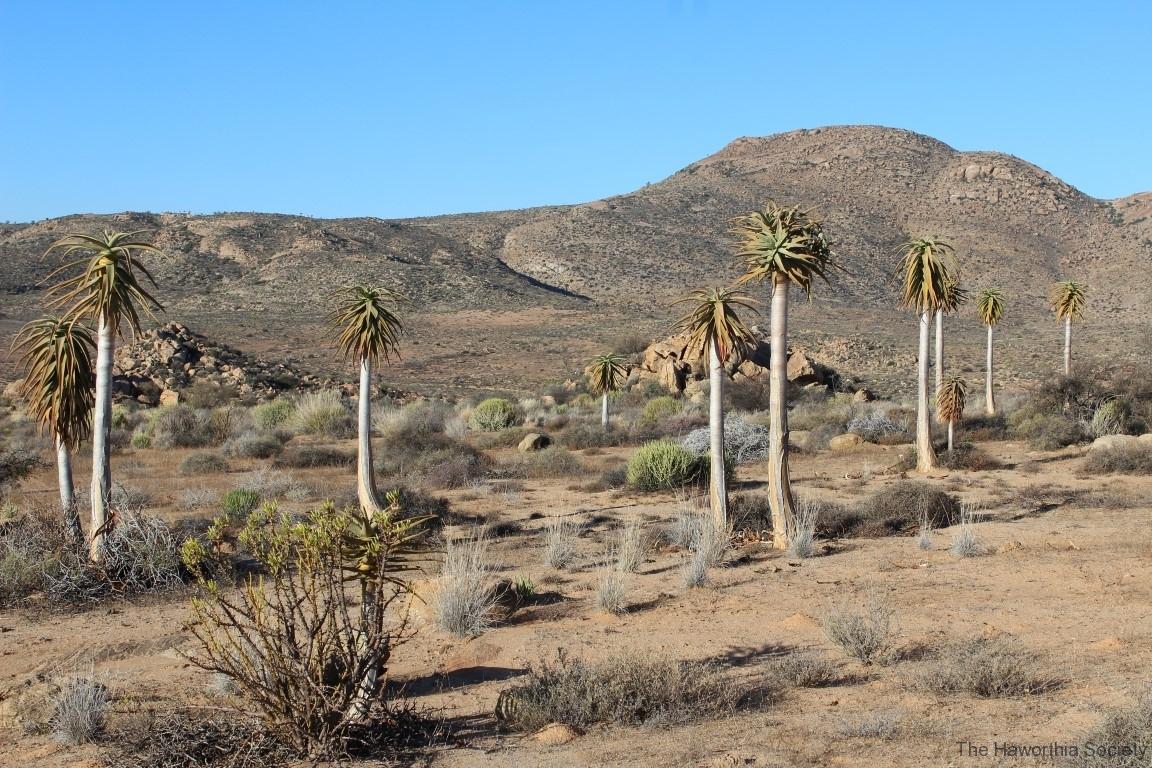 Aloe dichotoma, Sperrgebiet Lodge (7)