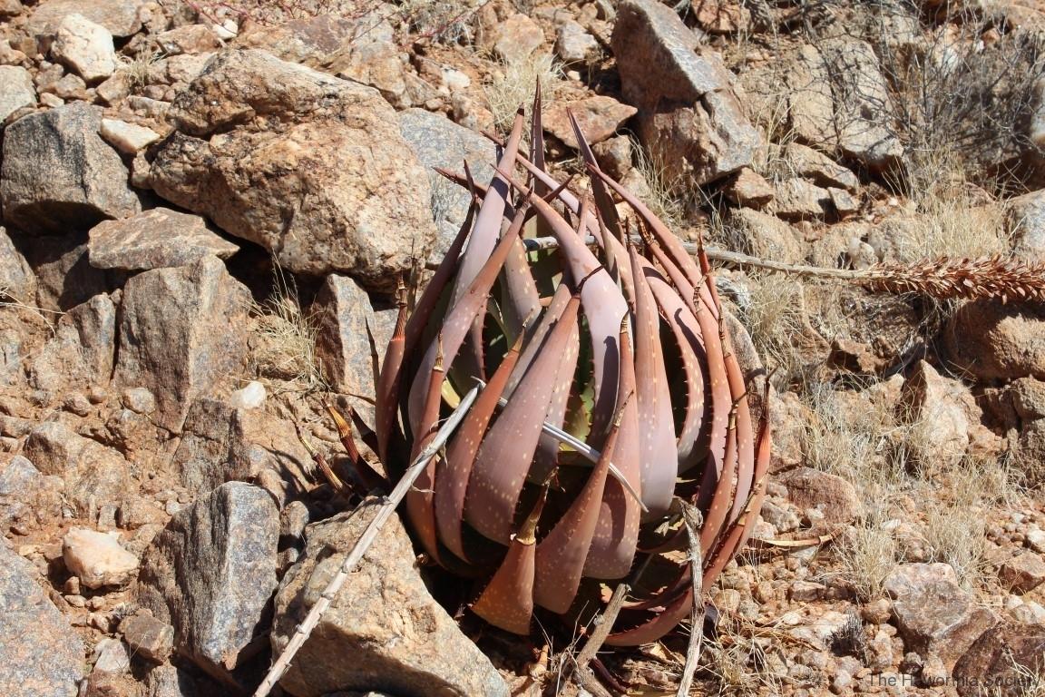 Aloe gariepensis, Aggeneys (4)