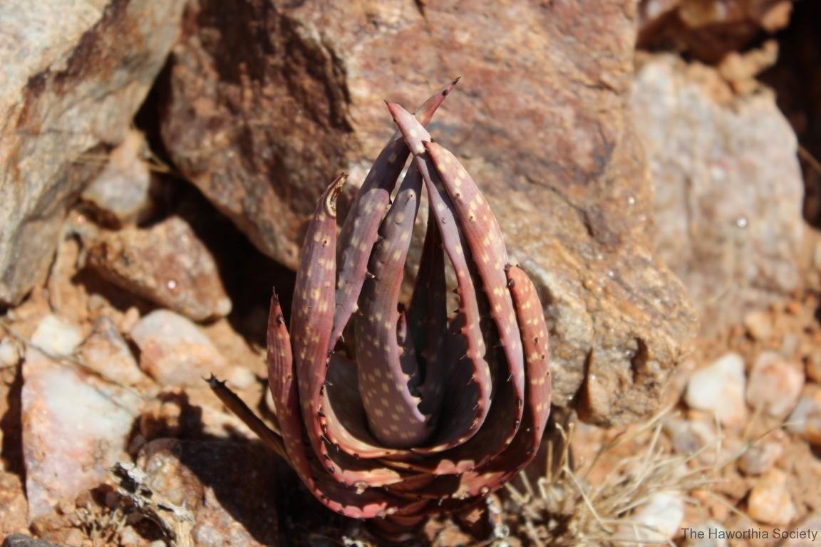 Aloe gariepensis, Aggeneys (7)
