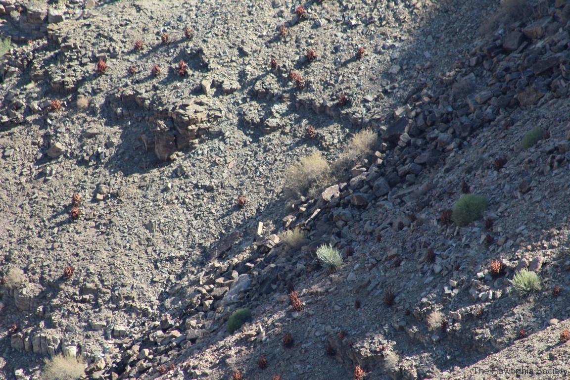 Aloe gariepensis, Fish River Canyon (1)