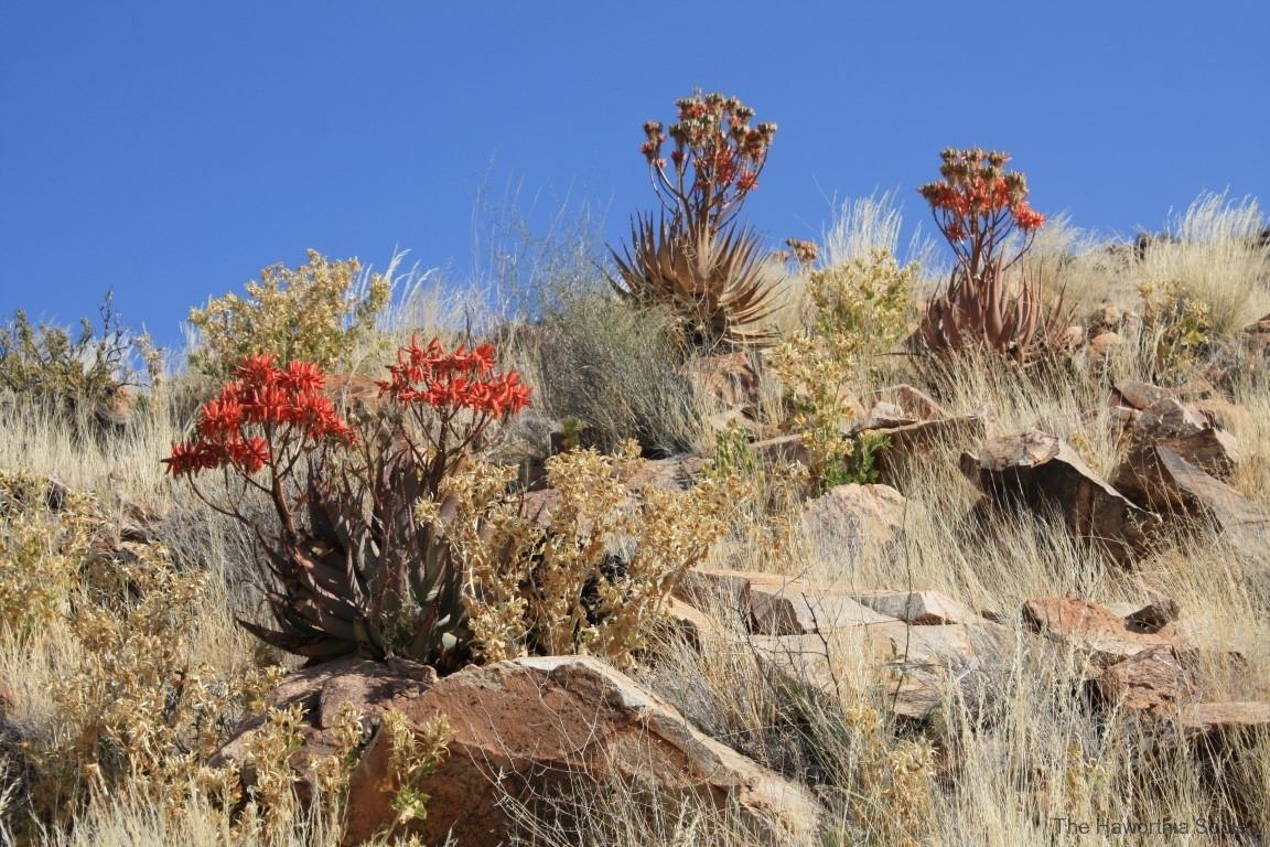 Aloe herreroensis, Keetmanshoop (5)