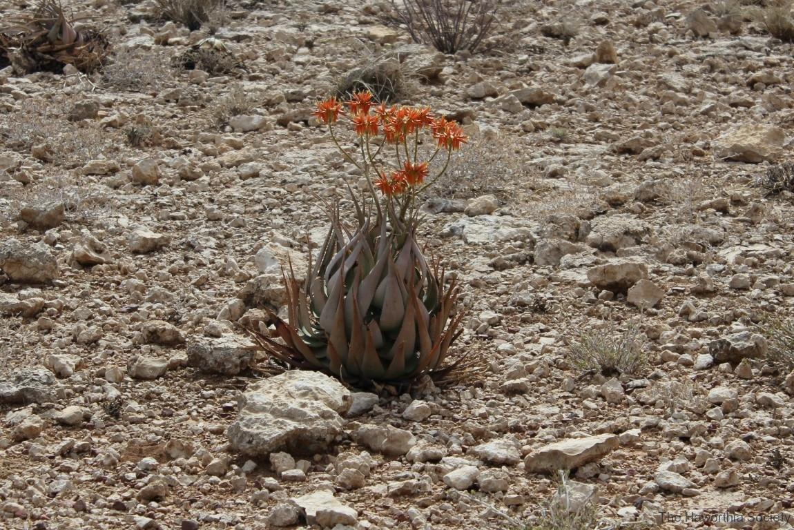 Aloe herreroensis, Namib Naukluft (1)