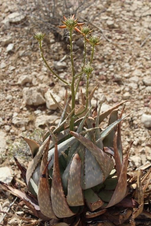 Aloe herreroensis, Namib Naukluft (5)