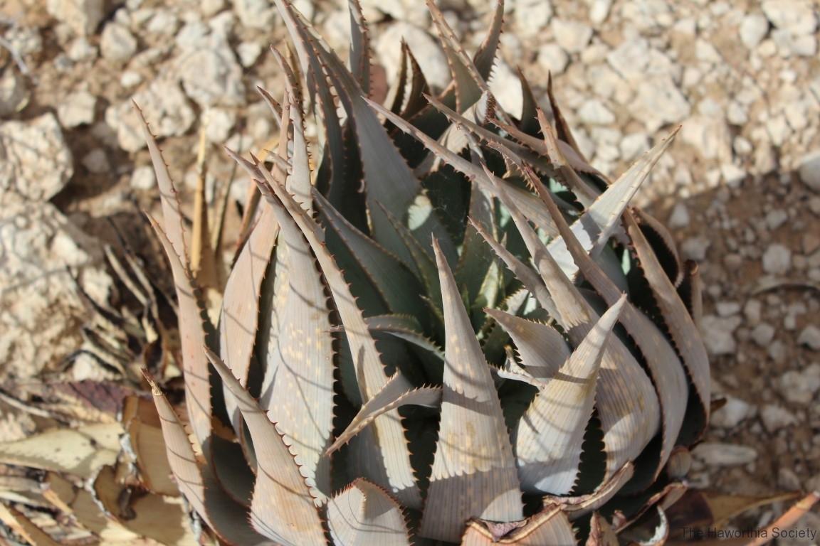 Aloe herreroensis, Namib Naukluft (7)