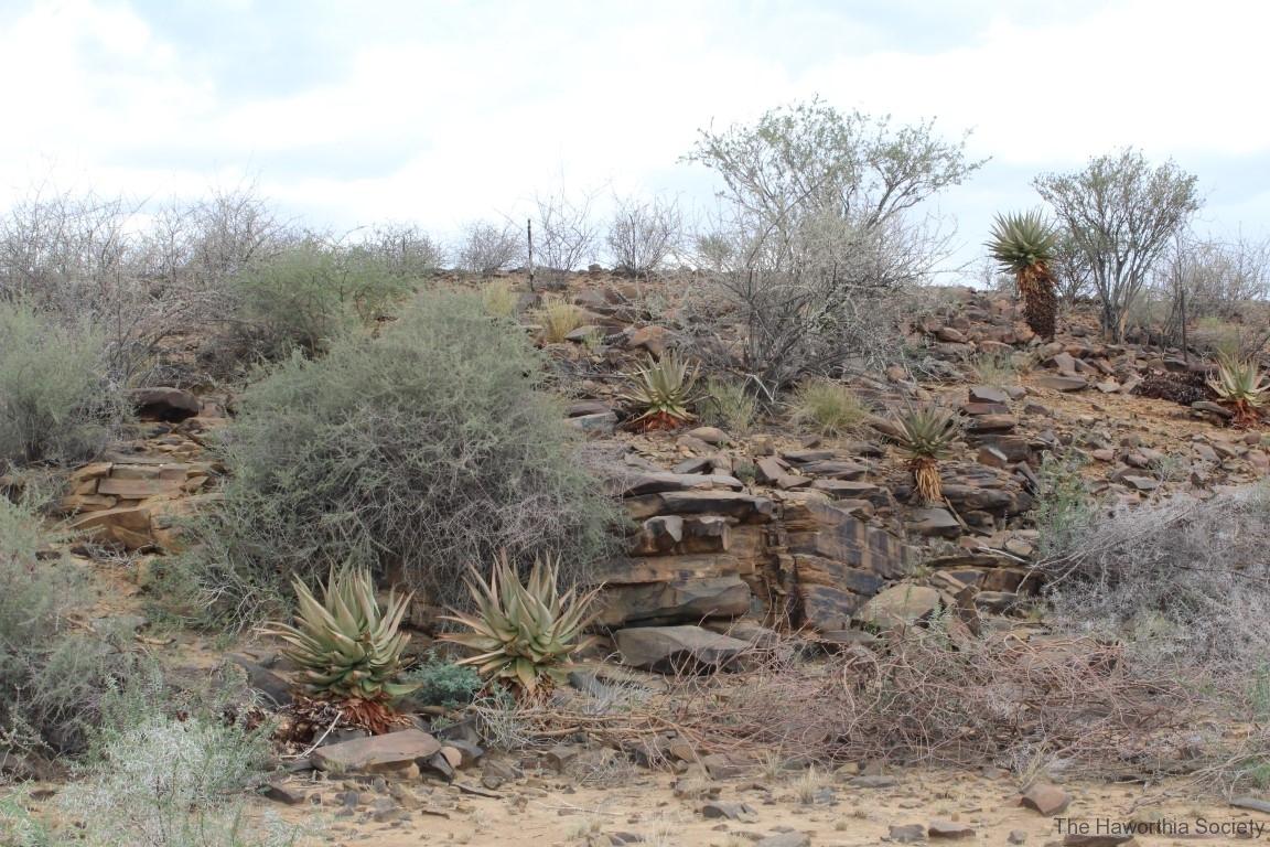 Aloe littoralis, Namib Naukluft (1)