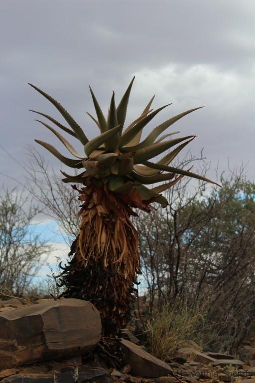 Aloe littoralis, Namib Naukluft (4)