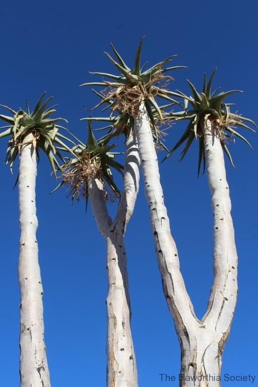 Aloe pillansii, Richtersveld National Park (4)