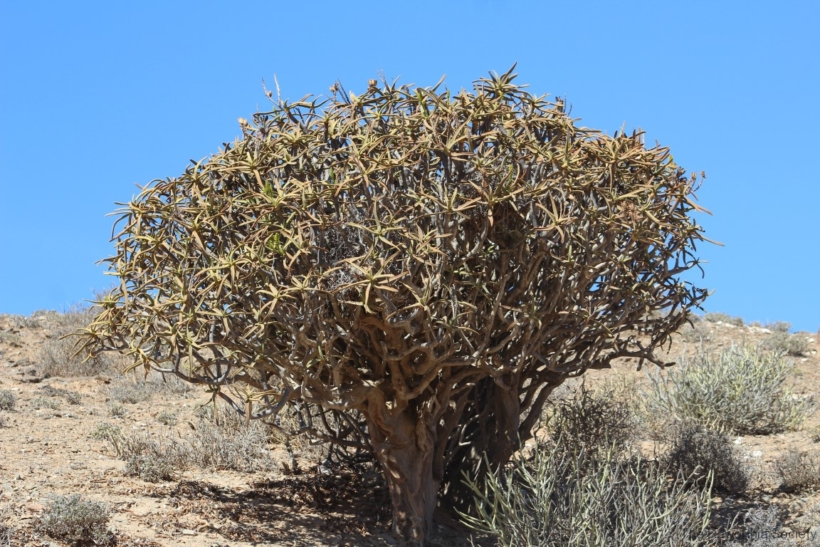 Aloidendron ramosissima, Richtersveld National Park