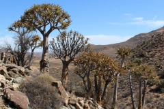 Aloe dichotoma, Goegap Nature Reserve (7)