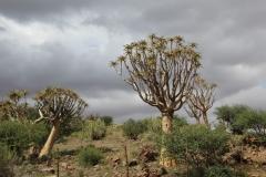 Aloe dichotoma, Upington (2)