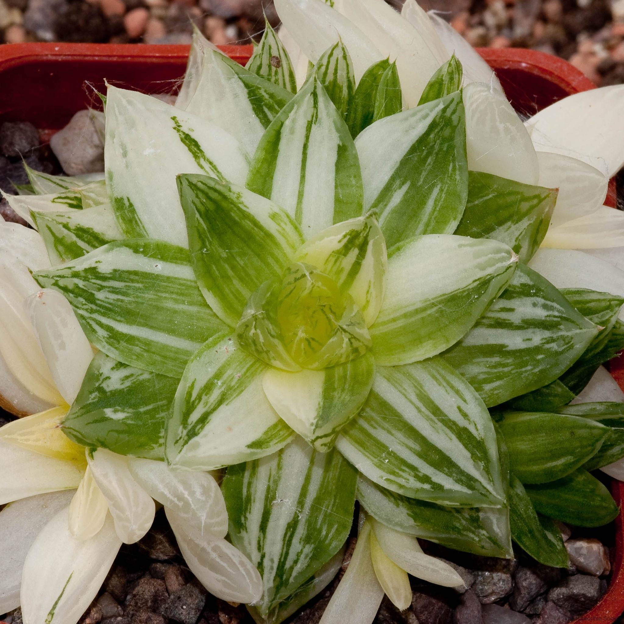 Haworthia cymbiformis variegated