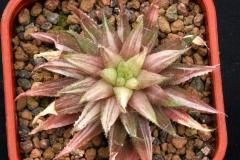 Haworthia chloracantha (Variegate) Ham2736
