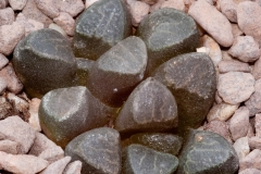 Haworthia bruynsii BH0537 East of Springblokvate