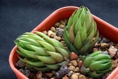 Haworthia coarctata fa. greenii Ham3012