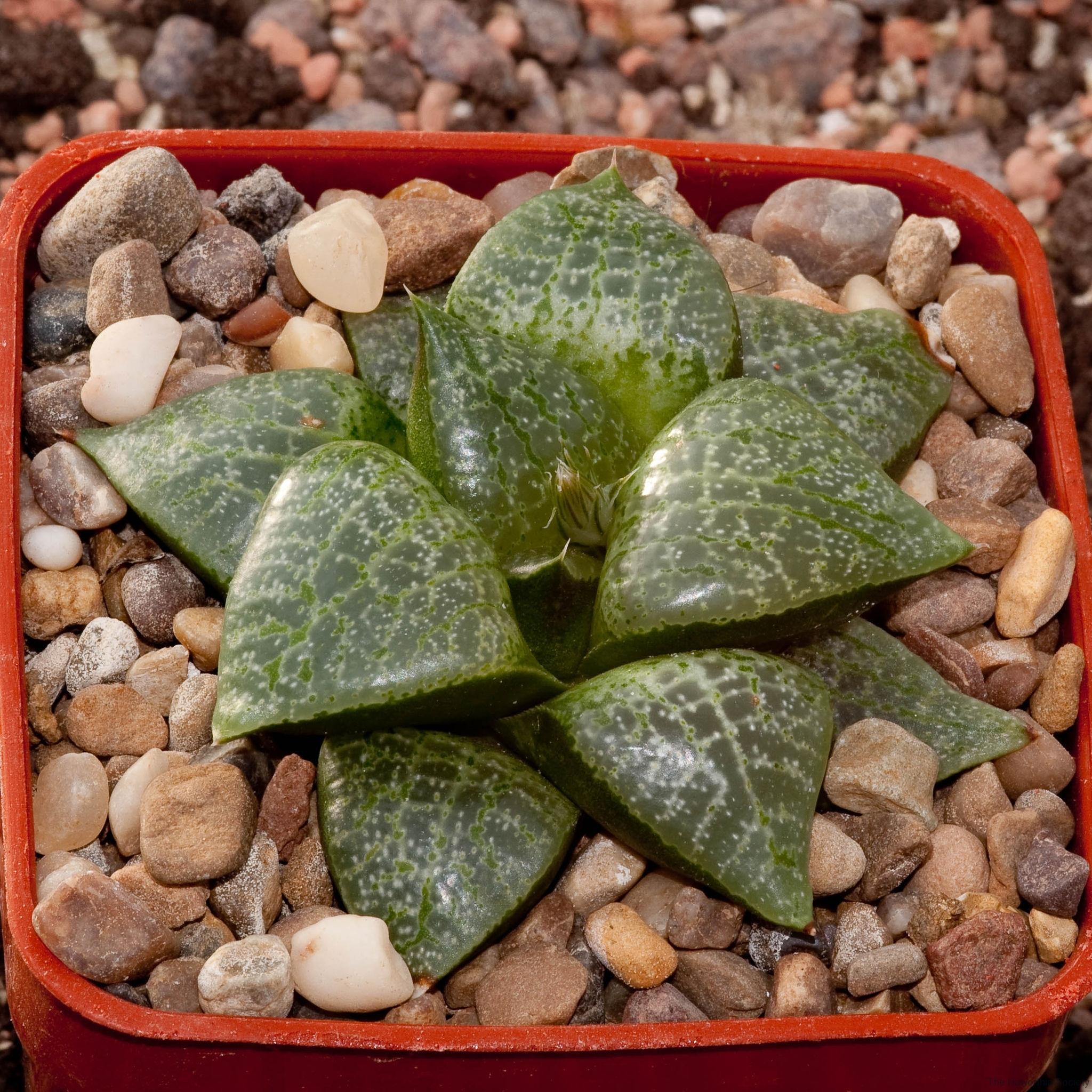 Haworthia emelyae var. comptoniana BH0403 Willowmore