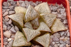 Haworthia magnifica var. splendens BH0530 ex Koyabishi ELK