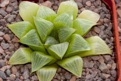 Haworthia mirabilis BH0755 Ex Harry Mays ISA99