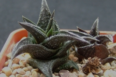 Haworthia nigra HAM1716 [Fish River] about 4cm across
