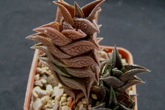 Haworthia nigra (received as schmidtiana v.suberecta) Ham2625