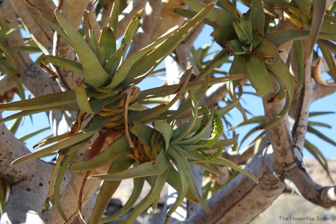 Aloe dichotoma, Goegap Nature Reserve (2)