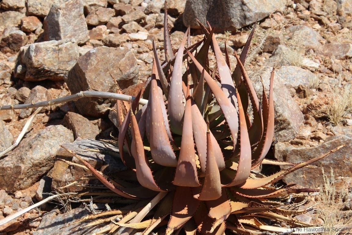 Aloe gariepensis, Aggeneys (3)