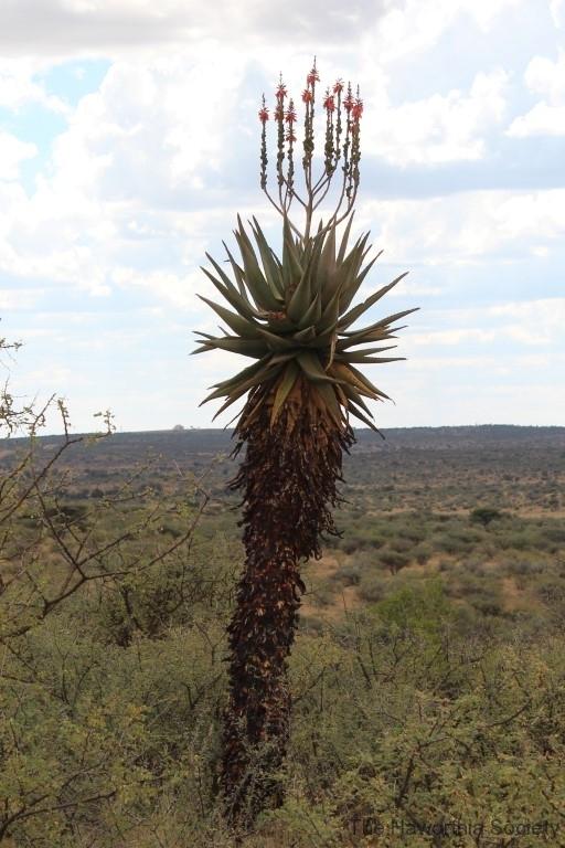 Aloe littoralis, Windhoek (1)