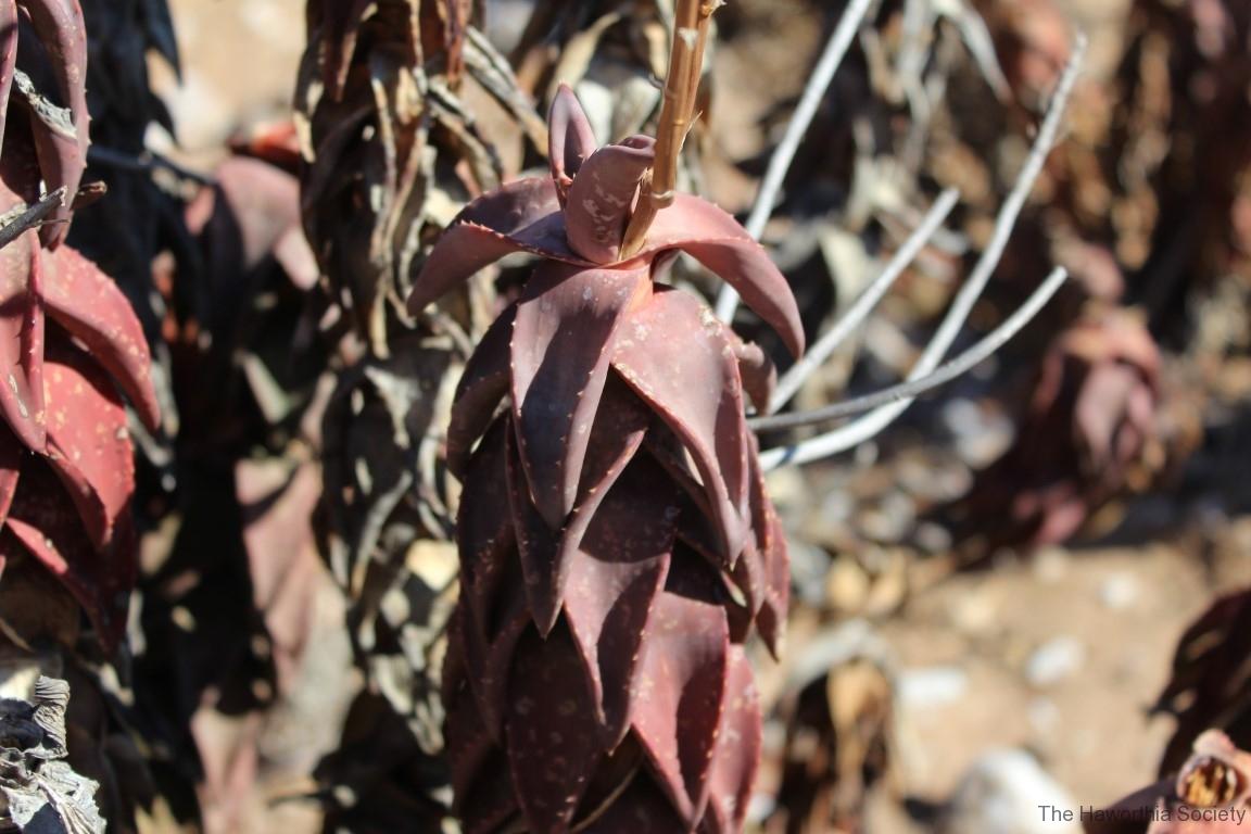 Aloe pearsonii, Helskloof Pass (10)