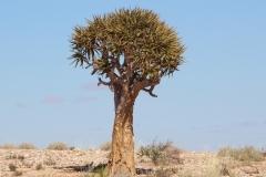 The Augrabies Park 'Quiver Trees' (5)