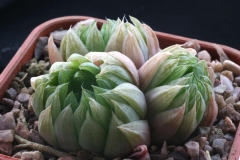 Haworthia transiens ISI166 Acquired from Whitestone Gardens in 1996 Ham