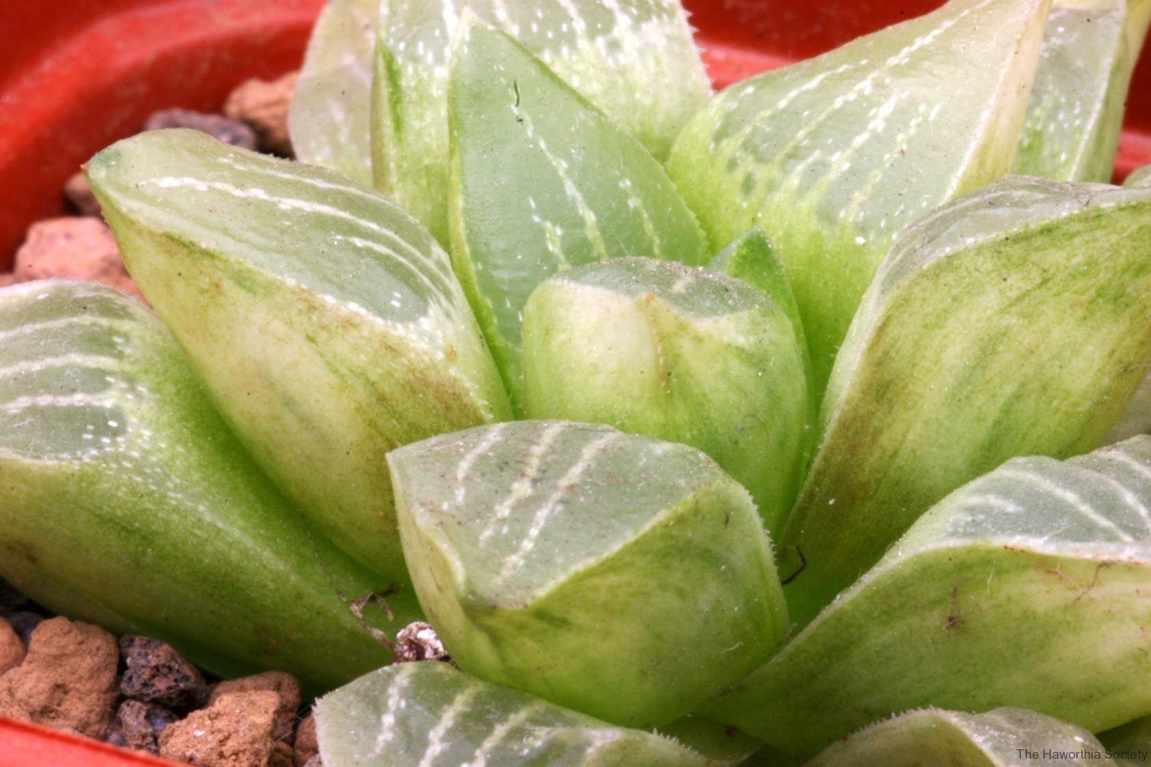 Haworthia mutica (otzenii) Variegate Ham1802 Show seasonal variegation. Good variegation appears only during growing seasons